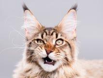 猫浣熊缅因纵向 免版税库存图片