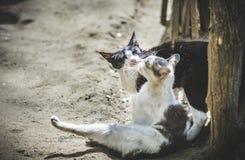 猫浪漫史 免版税库存照片