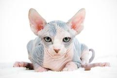 猫滑稽的狮身人面象 免版税图库摄影