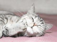 猫灰色临时 免版税库存图片