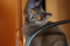 猫灰色例证好的向量 库存照片