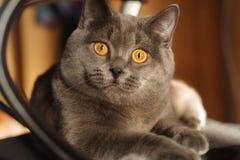 猫灰色例证好的向量 免版税库存图片