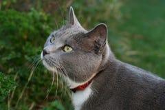 猫灰色偷偷靠近 库存图片