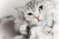 猫灰色手表 免版税库存图片