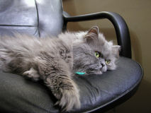 猫灰色波斯语 库存图片