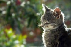 猫灰色纵向侧视图 免版税库存图片