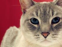 猫灰色纵向平纹 免版税库存照片