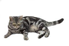 猫灰色银色平纹 图库摄影