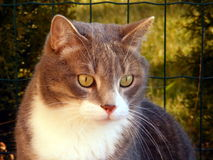 猫灰色 库存图片