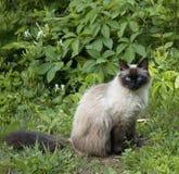 猫点密封 免版税库存图片