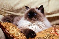 猫点密封 库存照片
