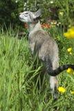 猫点暹罗平纹 库存照片