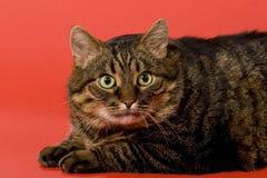 猫烈性黑啤酒视图 免版税库存图片