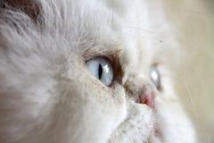 猫特写镜头波斯语 库存图片