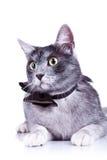 猫特写镜头逗人喜爱的照片 免版税库存图片