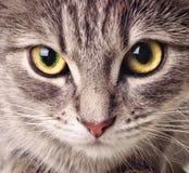猫特写镜头 免版税库存照片