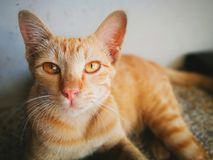 猫特写镜头  免版税图库摄影