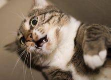 猫特写镜头foto 免版税库存图片