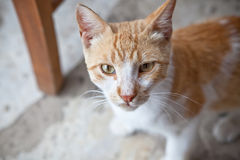 猫狡猾查找 图库摄影