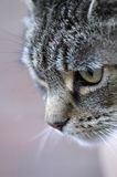猫狩猎平纹 免版税库存照片