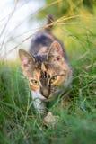 猫狩猎通过草 免版税库存照片
