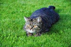 猫狩猎 免版税库存图片