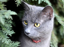 猫狩猎 库存图片