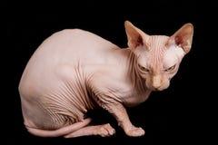 猫狮身人面象 免版税库存图片