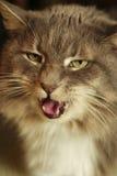 猫猫叫声s 免版税库存照片