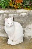 猫白色 库存图片