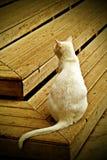 猫白色 免版税图库摄影