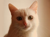 猫白色 免版税库存照片