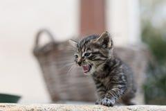 猫的国王 免版税图库摄影
