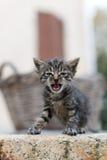 猫的国王 库存照片