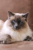 猫的国王 免版税库存照片
