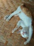 猫的睡眠行动 免版税库存图片