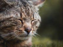 猫的纵向 免版税库存照片