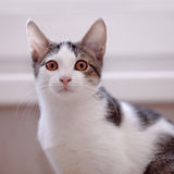 猫的纵向 库存图片