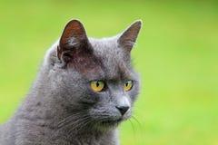 猫的纵向 图库摄影