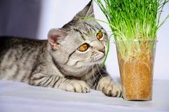 猫的草 猫吃草 灰色猫 免版税库存照片