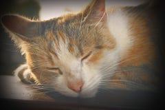 猫的葡萄酒画象 库存照片