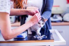 猫的诊所清洁耳朵的无法认出的兽医 免版税库存图片
