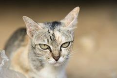 猫的面孔 免版税库存图片