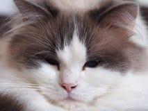 猫的画象 库存图片