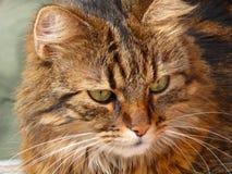 从猫的画象 库存图片