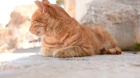 猫的Potrait 股票视频