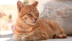猫的Potrait 股票录像
