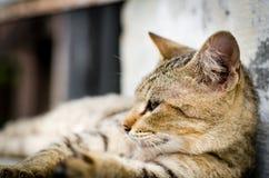 猫看对边的,在台阶的特写镜头棕色猫面孔 免版税库存照片