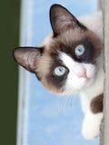 猫看照相机的品种雪靴 图库摄影
