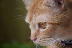 猫看猫意图的哈欠猫 免版税库存图片